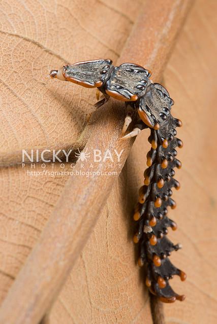 Trilobite Beetle (Platerodrilus sp.) - DSC_1939