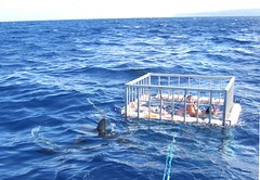 Shark Cage Diving Adventure