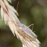 Trigonotylus pulchellus
