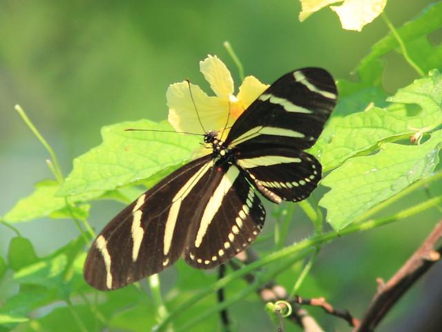 Zebra heliconian 20120920