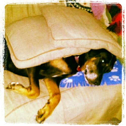 Lazy Sunday! #dogs #dobiemix #doberman #rescue #adoptdontshop #dogsofinstagram #dogstagram #instadog #petstagram #lazy
