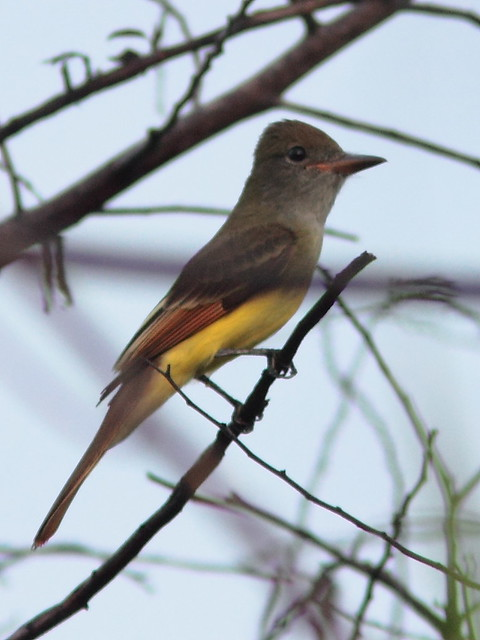 Great Crested Flycatcher 20120924
