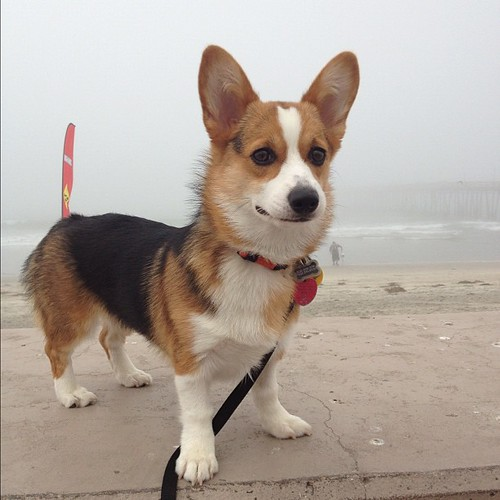 Isn't she just the prettiest? #corgi #corgistagram #puppy