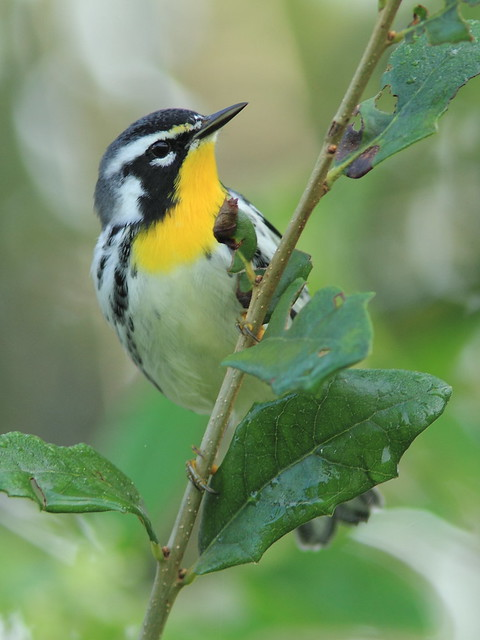 Yellow-throated Warbler 02-20120924