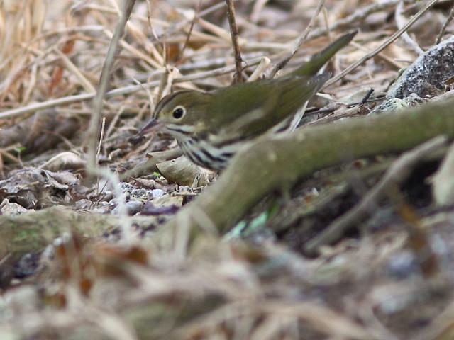 Ovenbird 20120925