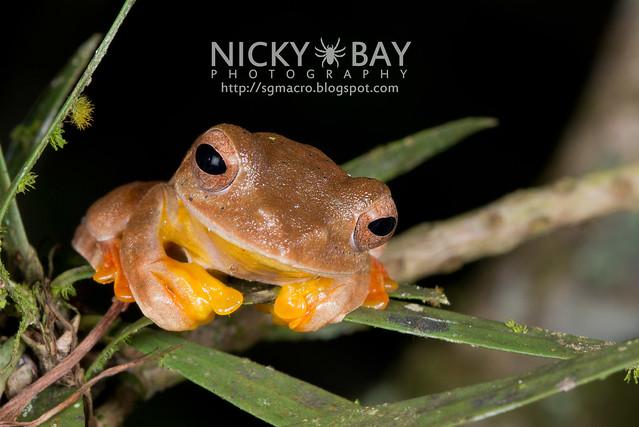 Twin-spotted Flying Frog (Rhacophorus bipunctatus) - DSC_5365