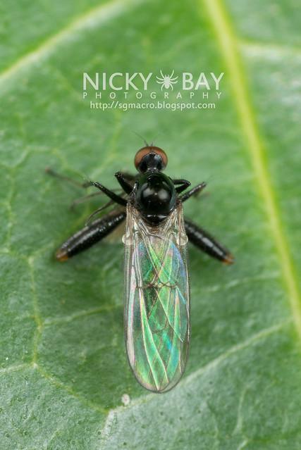 Dagger Fly (Empididae) - DSC_5260