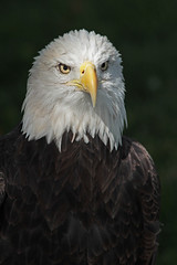 Eagle portrait 3