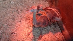 Baby Rheas