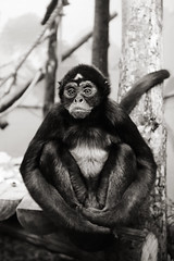 Photograph: [Untitled]; Spider Monkey, Bristol Zoo, September 2012. By Simon Holliday.