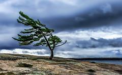 Windswept Pine Tree @ Killbear Provincial Park, Ontario