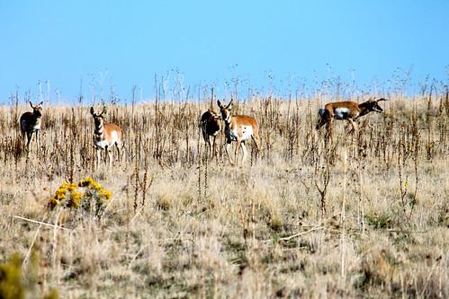 Antelope Again