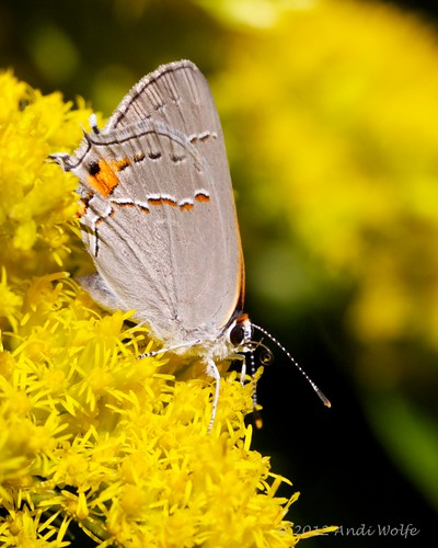Gray hairstreak butterfly by andiwolfe