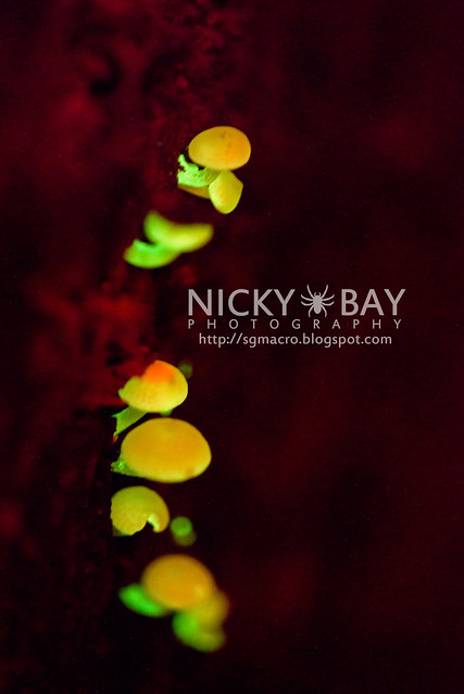 Bioluminescent Fungi - DSC_6649