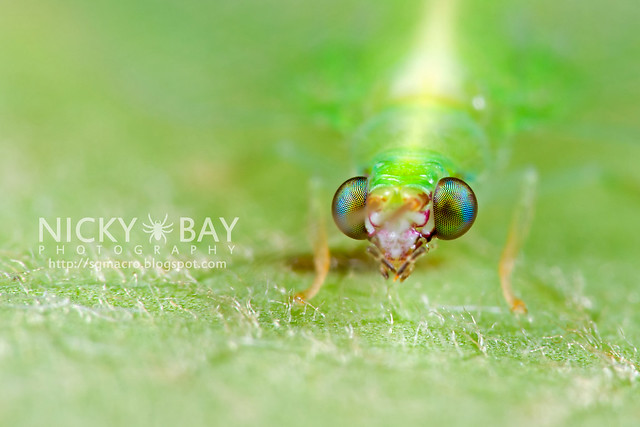 Green Lacewing (Chrysopidae) - DSC_5985