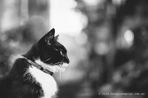 Rambo the Cat by twoguineapigs Pet Photography [8]