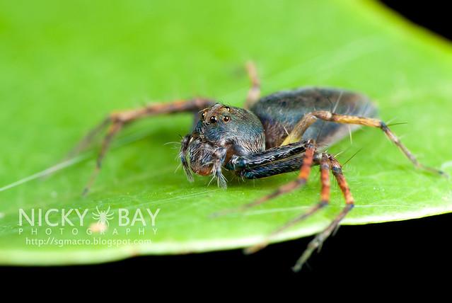 Lynx Spider (Oxyopidae) - DSC_4495