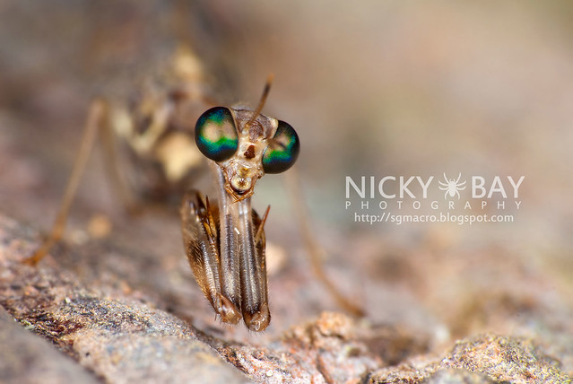 Mantidfly (Mantispidae) - DSC_4213