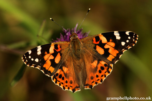 Disappointment - Painted Lady (Vanessa cardui)