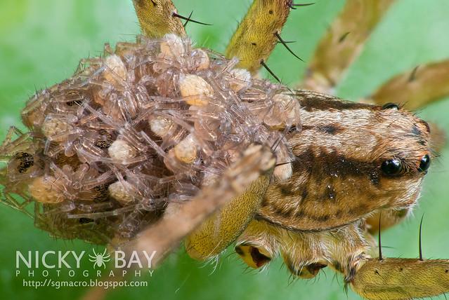 Wolf Spider (Lycosidae) - DSC_3427