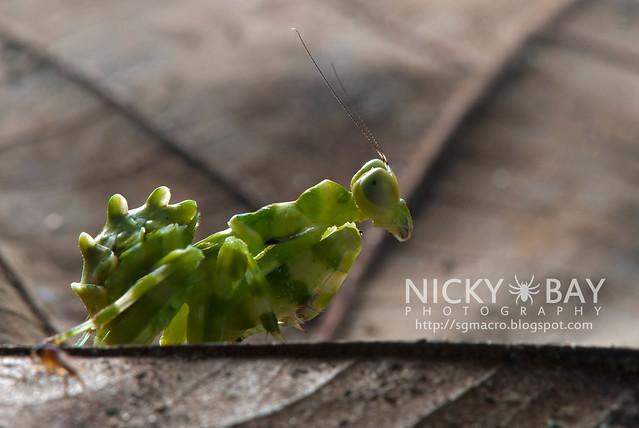 Banded Flower Mantis (Theopropus elegans) - DSC_3539
