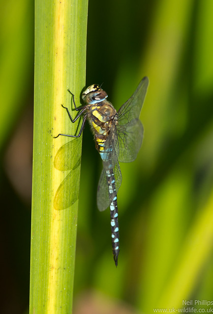 Migrant hawker dragonfly Aeshna mixta perched