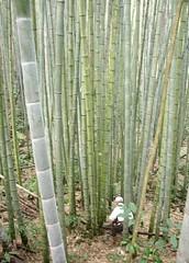 嘉義石卓孟宗竹林地上部現存量每公頃最高達170噸。(林業試驗所提供)