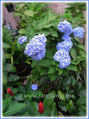Hydrangea macrophylla 'Endless Summer' with remarkable display in our garden, Sept 2012 #2/2