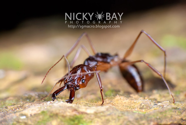 Trap-jaw Ant (Odontomachus sp.) - DSC_2914