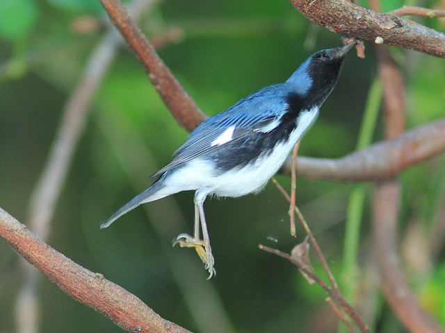 Black-throated Blue Warbler male 7-20121009