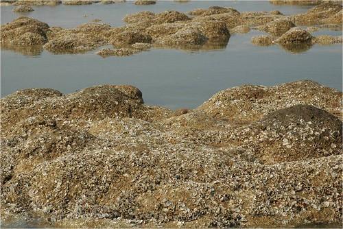 觀音鄉富林溪口藻礁上的牡蠣來不及長大就一命嗚呼了。(攝影:劉靜榆)