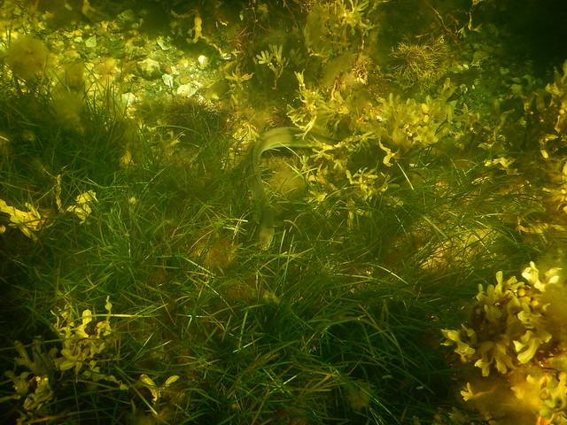 Eel. Underwater Ribersborg