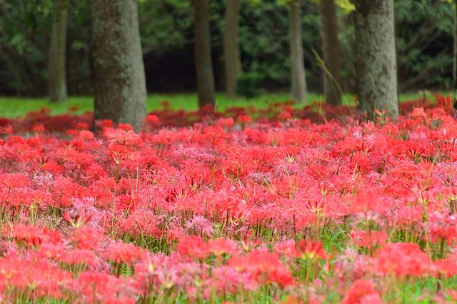 ヒガンバナ 彼岸花 Cluster amaryllis