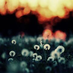 [フリー画像素材] 花・植物, タンポポ, 種子 ID:201209100600