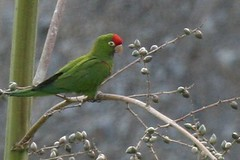 Scarlet-fronted Parakeet - Birding with Nature Expeditions in Peru