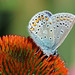 Lycaeninae - Common Blue