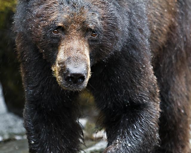 Neets Bay Black Bear
