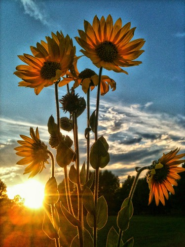 Black-eyed Susans at sunset