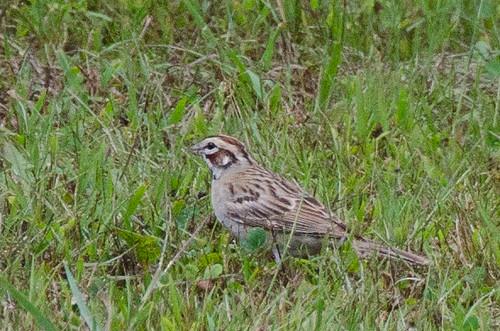 norwich 2012 larksparrow vermontbirds