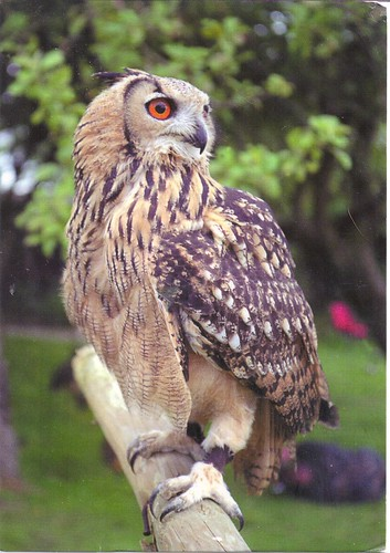 Beautiful Brown Owl