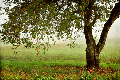 the old apple tree by tonnyc