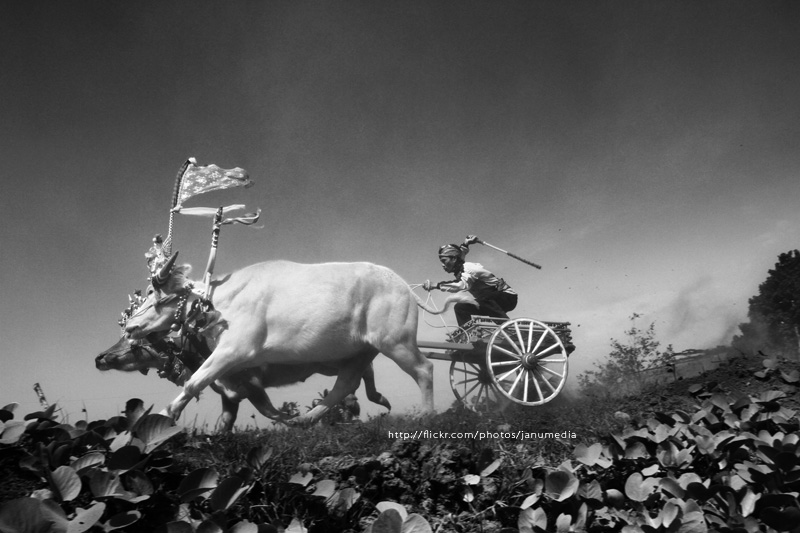 Bali Image : Makepung, a traditional balinese buffalo race at Tuwed, Jembrana