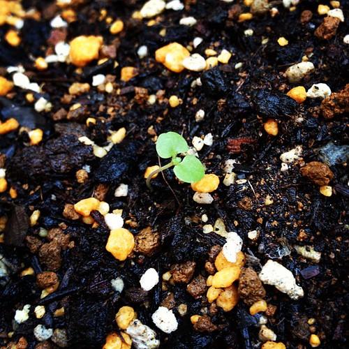社長が「おい!ホップの芽が出たぞ!」って騒いでるんですが、これが駐車場周辺の雑草の芽とそっくりなんですw。さてこれは、芽?雑草?