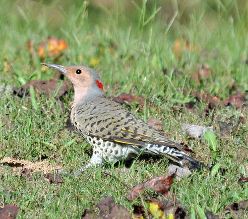 Yellow-shafted Flicker by picturesinmylife_yls