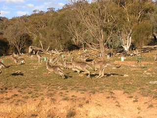 Eastern Grey kangaroo mob at Mount Majura. Photo Waltraud Pix, 18 July 2009