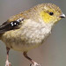 Forty-spotted Pardalote (Werner Suter)
