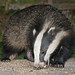 Stripey Hoover ( Please Help !! ) by Dan Belton ( No Badger Cull )
