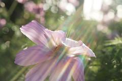 Light Bending The Petals