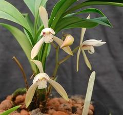 Cym lancifolium