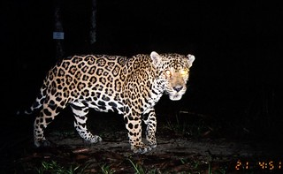 Jaguar - Blancaneaux Lodge, Belize